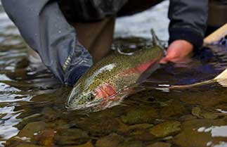 A trout being caught in a Smoky Mountain stream.