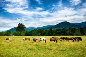 Horses grazing in Cades Cove.